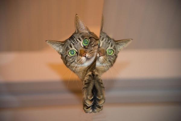 הפחתת תוקפנות אצל חתול מסורס