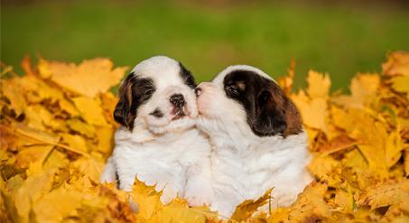 חיסון לגורי כלבים