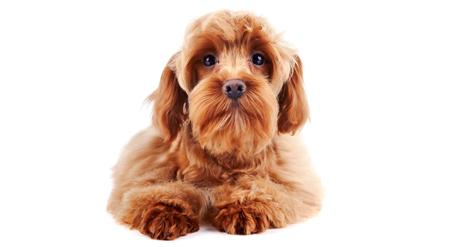 דמודקס אצל כלבים