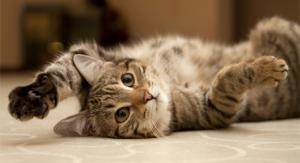 טפיל הטוקסופלזמה וחתולים