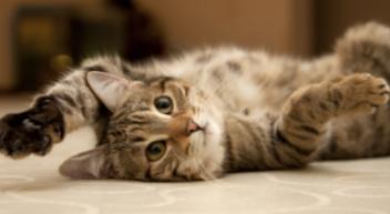 עיקור חתולה