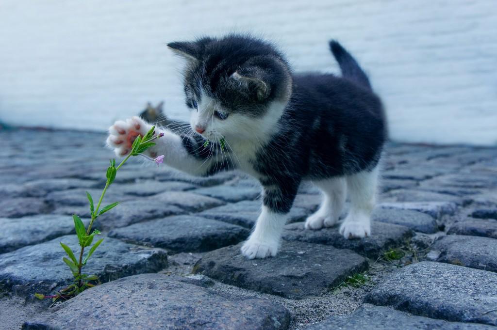 חיסון גור חתולים